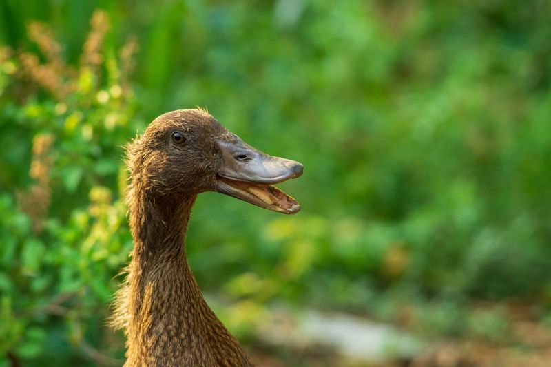 close up duck Happy Smile Active Ducky  Duck One Animal Animal Themes Animal Animal Wildlife Animals In The Wild Vertebrate Bird Animal Head  Close-up Nature Side View Profile View Animal Body Part