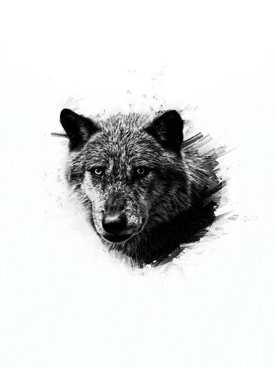 Wolf,so gorgeous Wolf Drawing DrawWolf Enlightapp B/w B/W Filter
