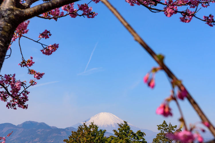 Plant Sky Tree Beauty In Nature No People Nature Growth Low Angle View Mountain Branch Day Flowering Plant Blue Tranquility Flower Freshness Focus On Foreground Outdoors Fragility Tranquil Scene Springtime Cherry Blossom Kawazu-zakura Mt.Fuji