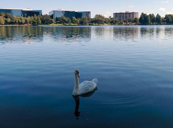 Gorgeous morning at Lake Eola Park Downtown Orlando Florida Nature Birds Swan Bird Lake Water City Life