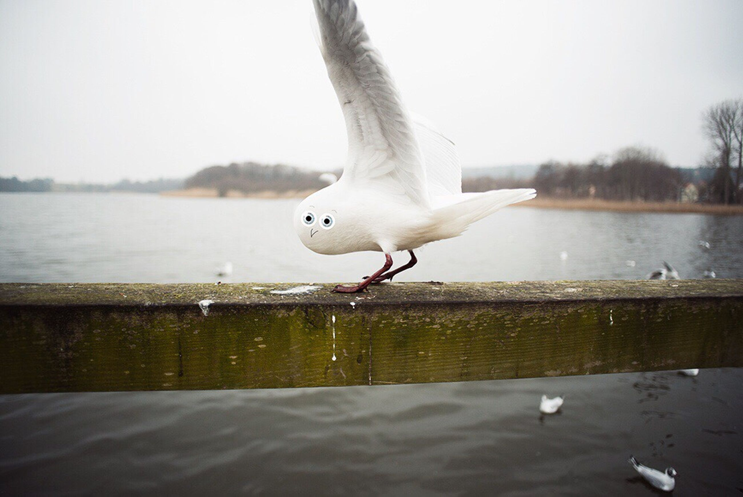 bird, animal themes, water, animals in the wild, wildlife, seagull, one animal, spread wings, flying, lake, swan, white color, nature, waterfront, clear sky, side view, river, water bird, reflection, day