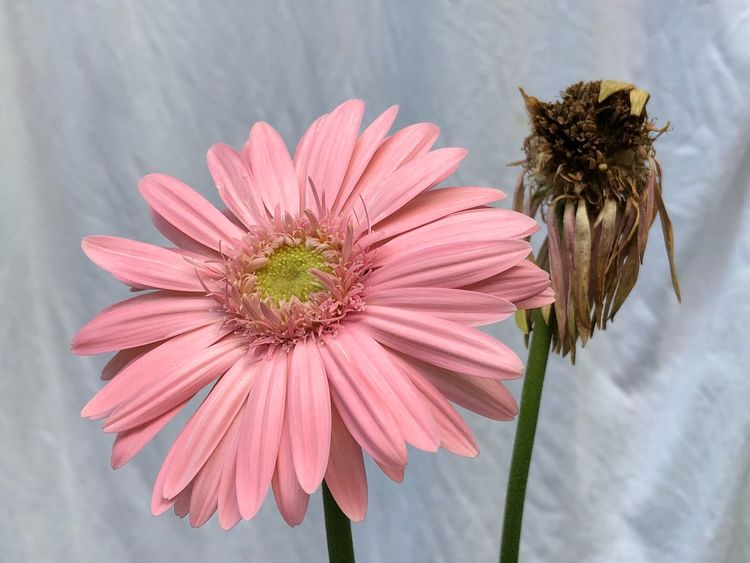 Fresh Transvaal daisy and the old one. Transvaal Daisy EyeEm Selects Flower Fragility Petal Flower Head Nature Freshness Beauty In Nature Plant No People Growth Day Pollen Close-up Pink Color Outdoors Blooming
