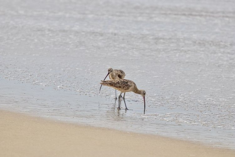 sandpiper birds on the shore searching for food Animal Themes Animal Animal Wildlife Animals In The Wild Bird Vertebrate One Animal Water Beach Land Sea Nature Sand Day No People Outdoors Beauty In Nature Selective Focus Sandpiper Birds Shore Coastal