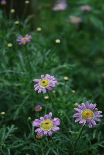 Flower Nature Petal Growth Beauty In Nature Fragility Blooming Plant Freshness Flower Head Pink Color No People Outdoors Cosmos Flower Day Close-up I Always Thinking About U, G I Want To Know Your Secret, C Thank You,❤️ 감사합니다