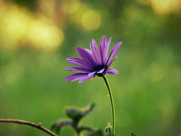 Flower Violetta