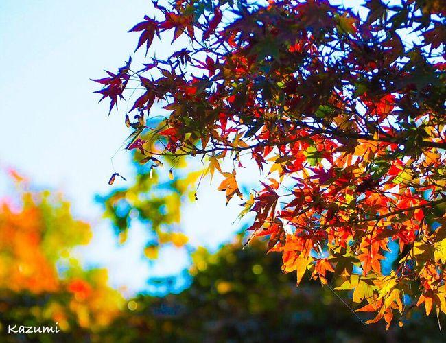 小さい秋🌰🍂🍁その5 Autumn Tree Leaf Nature Change Beauty In Nature Growth Maple Tree Outdoors Low Angle View No People Maple Leaf Scenics Close-up Freshness Sky Autumn Autumn🍁🍁🍁 Autumn Colors Autumn Leaves MapleWoods Red 神代植物公園 Tokyo Japan