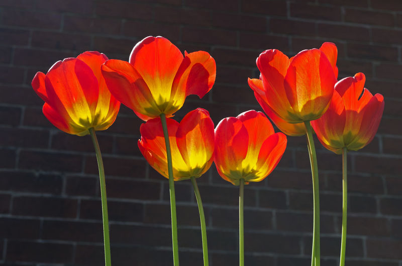 Plants Red Beauty In Nature Blooming Close-up Day Flower Flower Head Foliage Fragility Freshness Garden Growth Nature No People Outdoors Petal Plant Summer Tulip Yellow