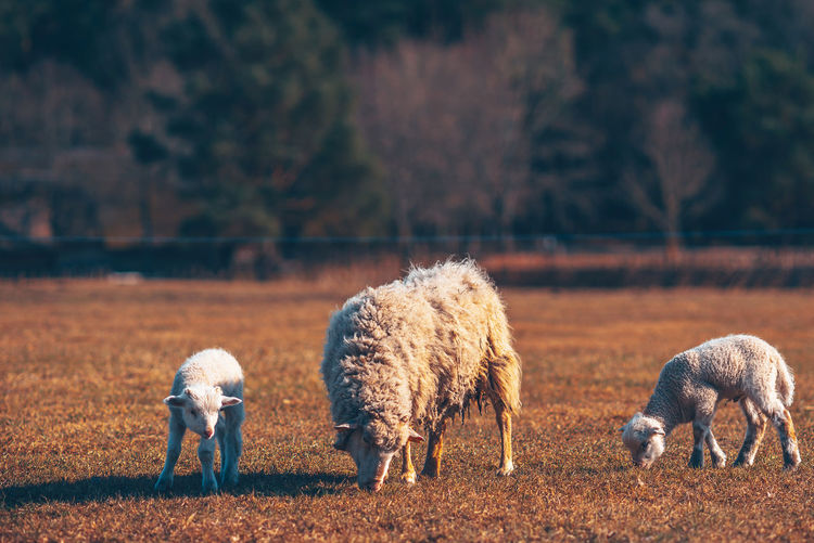 Sheeps Baby Agriculture Animal Animal Themes Domestic Domestic Animals Field Focus On Foreground Grass Grazing Group Of Animals Herbivorous Land Livestock Mammal Nature No People Outdoors Pets Plant Sheep Sheeps Tree Vertebrate