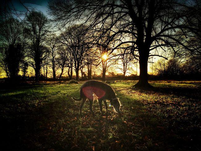 Lurcher I Love My Dog ❤ Animal Photography Sighthound Animal Portrait LEO... The One Eyed Lurcher... Bushy Park United Kingdom