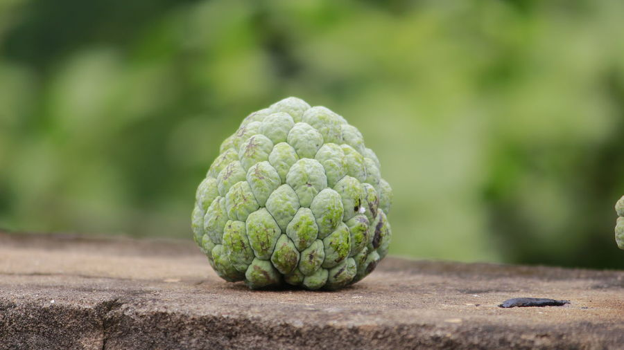 Custard Apple On Retaining Wall