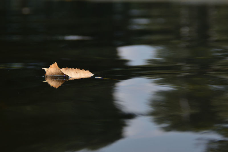The Leaf Water Lake Reflection Waterfront No People Animal Animals In The Wild One Animal Animal Themes Nature Animal Wildlife Day Vertebrate Beauty In Nature Flying Outdoors Floating Bird Leaf Floating On Water EyeEm Best Shots EyeEm Nature Lover EyeEm Selects EyeEm Gallery EyeEm Best Edits My Best Photo