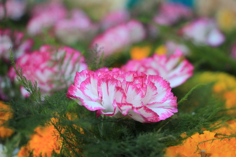 sweet pink and white flower in bloom Flowering Plant Flower Plant Freshness Pink Color Beauty In Nature Fragility Vulnerability  Close-up Petal Growth Flower Head Selective Focus Inflorescence Nature No People Field Outdoors Day Land Purple Softness