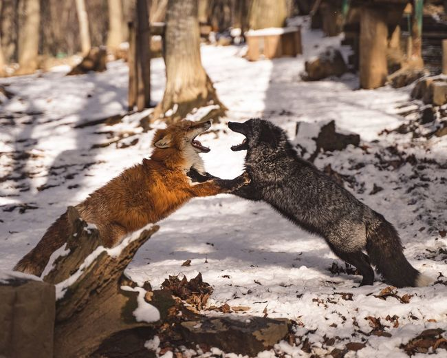 Side view of foxes fighting on snow covered field in forest