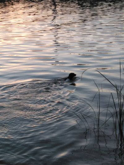 Dog Swimming Water River Nature Beauty In Nature One Animal Sunset In The River Riverside Photography Riverwalk Sevilla Spain Calmness
