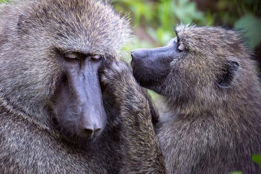 Ape Tanzania Africa Animal Baboon Grooming Monkey Olive Baboon Primate Safari Safari Animals Wildlife