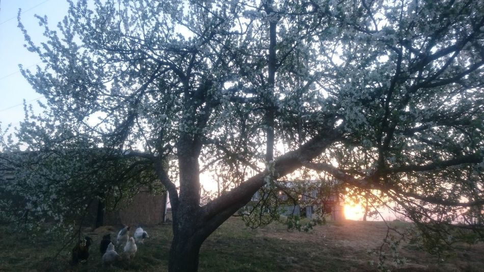 Nature No People Flowering Trees Sunset Happy Anímals Kichengarden Tree Growth Beauty In Nature Low Angle View Sky Tranquility Outdoors Illuminated Day