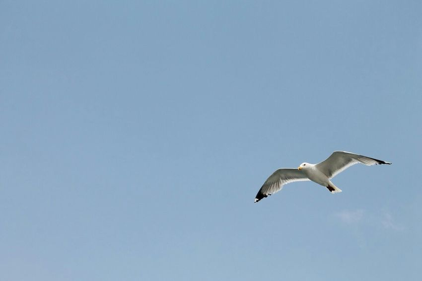 Taking Photos Sky_collection Sky And Bird Seagulls Sky EyeEm Best Shots Animals Animal_collection Nature