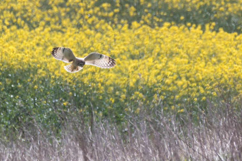 Animal Wildlife Animals In The Wild Beauty In Nature Bird Day Field Flower Flying Growth Mammal Mid-air Nature No People One Bird Outdoors Plant Short Eared Owl Spread Wings Yellow