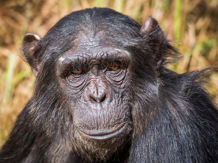 Close-up portrait of female chimpanzee, zambia, africa