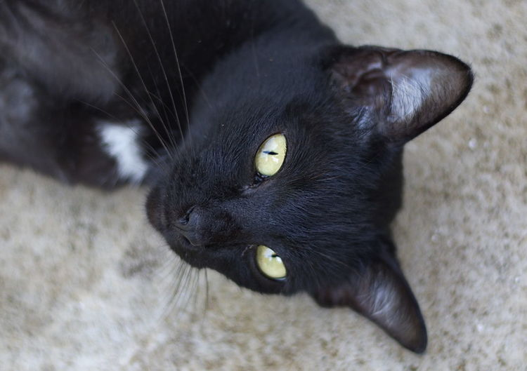 Black cat is staring. Attention Cat Cat Face Close Up Cat Hair Cat Head Black And White Green Eyes Cat Nose Closer Cat Cute Cat 😻 Animal Black Cat Head Shot Black Color Cat Cat Staring At Me Cats Watching You Domestic Cat Pets Photocell