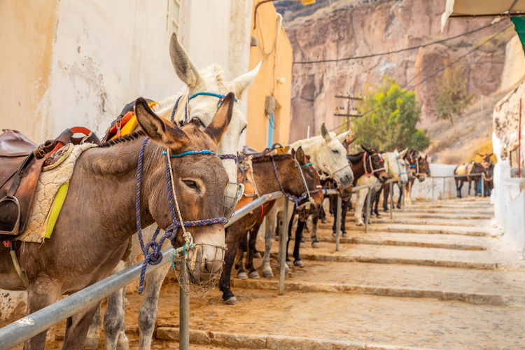 Santorini Greece Animal Themes Group Of Animals Mammal Animal Working Animal Domestic Animals Architecture Building Exterior Built Structure Incidental People Transportation Domestic Livestock Pets City Nature Outdoors Animal Wildlife Day Motion Herbivorous