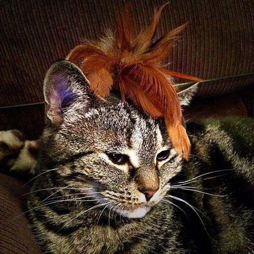 Grumble looking Cute in her Feathers❤️ Crazycatgirl Crazycatlady Cat Cats Furry Lovecats Petsofig Petsofinstagram Catsofig Catsofinstagram Furbaby Furbabies Tabby TabbyCat Tabbiesofig Tabbiesofinstagram Cameraplus K8marieuk Catgirl Catlady Cat 260314