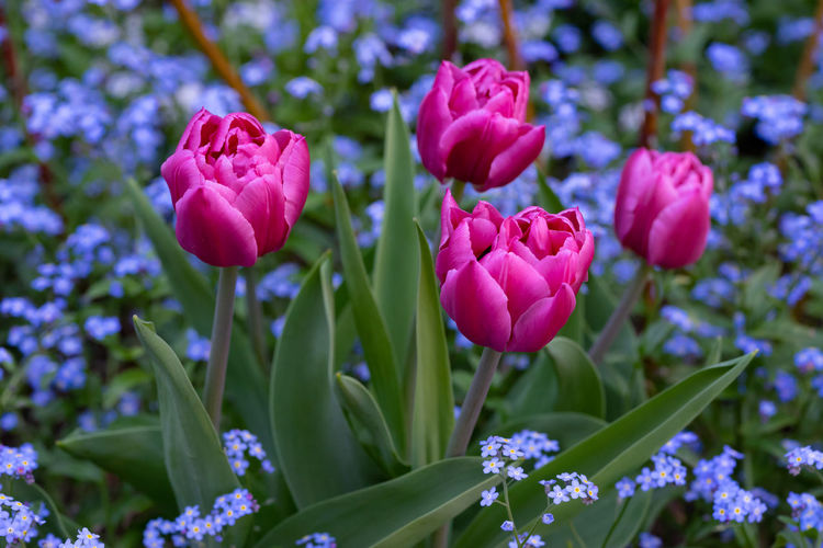 Tulips Beauty In Nature Close-up Day Flower Flower Head Flowerbed Flowering Plant Focus On Foreground Forget Me Not Fragility Freshness Gardening Green Color Growth Inflorescence Nature No People Outdoors Petal Plant Plant Stem Purple Selective Focus Vulnerability