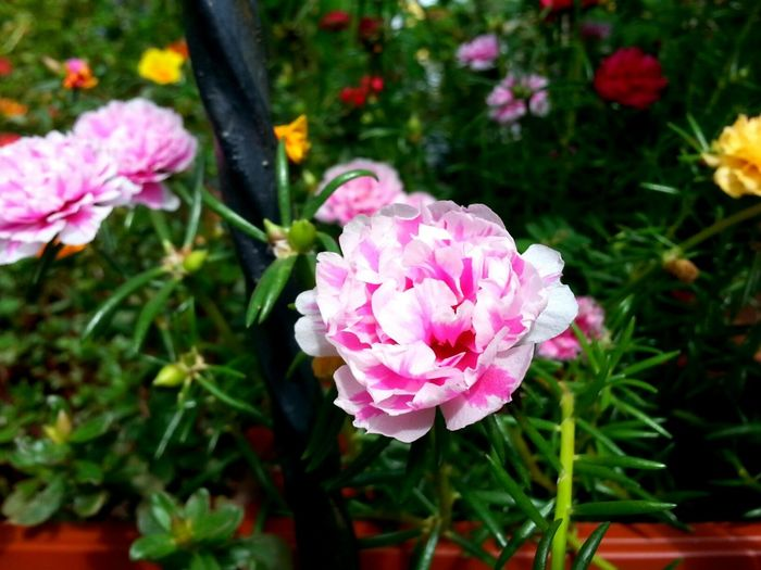 Carnation flowers in my garden. Flower Pink Color Plant Nature Outdoors Petal Flower Head Close-up Freshness Nature Beauty In Nature Carnation Flowers Pink Flower Flowerphotography Flowerlovers Flowermacro