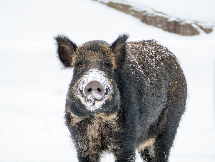 Close-Up Portrait Of Boar On Snow