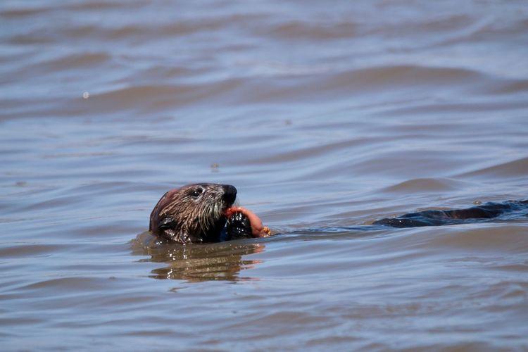 Sea otter feeding SeaOtter EyeEm Selects Animal Wildlife Animal Themes Animals In The Wild Animal Water One Animal Swimming Mammal No People Nature Animal Head  Outdoors