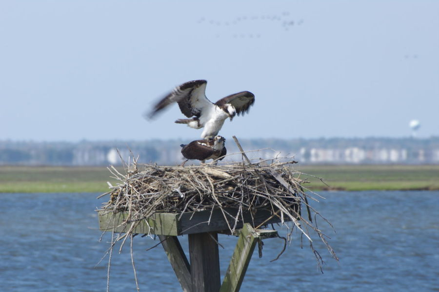 Animal Themes Animals In The Wild Beauty In Nature Bird Clear Sky Day Focus On Foreground Nature Nes New Jersey Wetlands Next No People Osprey Nest  Ospreys Outdoors Sky Water