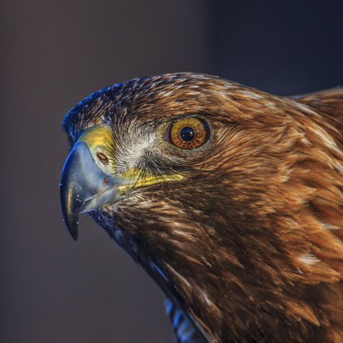 Golden eagle portrait from northern Sweden One Animal Bird Animal Animal Themes Vertebrate Animal Wildlife Animals In The Wild Close-up Bird Of Prey Animal Body Part No People Beak Animal Head  Focus On Foreground Hawk - Bird Day Brown Looking Side View Animal Eye Profile View Eagle Falcon - Bird Golden Eagle Portrait Sweden