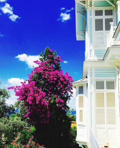 Begonville Begonvilçiçekleri Old House Island Island Life Prinkipo Büyükada Mobile Photography Mobilephotography IPhoneography Princeislands
