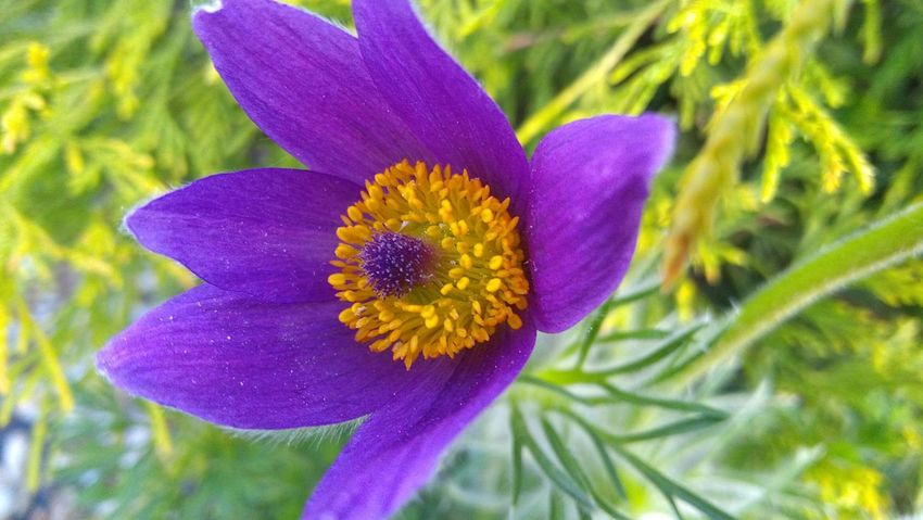 Flower Nature Beauty In Nature Flower Head Plant Growth No People Outdoors Day Spring Flower Plant Part Makro Makro Photography Makro_collection Spring Beauty In Nature Purple Flower Spring Flowers Makro Photo Makro Flower Nature Growth Pasqueflower Pasque Flower Taking Photos
