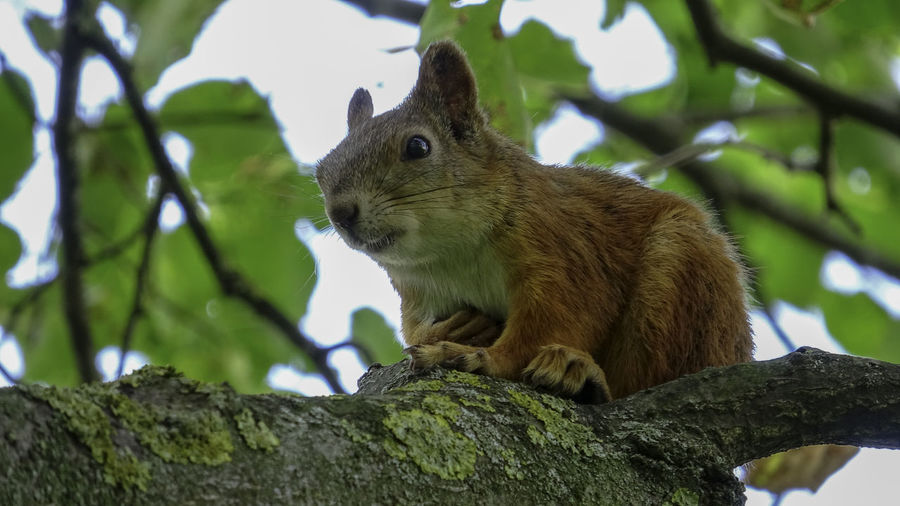Animal Themes Animal Animal Wildlife One Animal Mammal Tree Animals In The Wild Rodent Branch Low Angle View Vertebrate Plant Squirrel No People Focus On Foreground Day Nature Close-up Outdoors Sitting Whisker Animal Head  Herbivorous