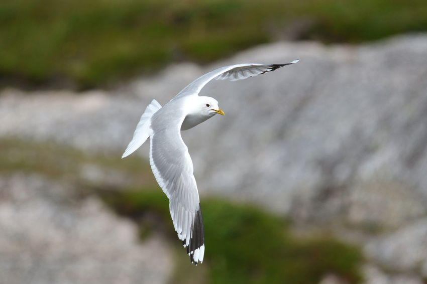 Animals In The Wild Mew Gull Norway Seagulls Sturmmöwe Wildlife & Nature Wildlife Photography Animal Themes Animal Wildlife Animals In The Wild Beauty In Nature Bird Day Flying Mew Mid-air Nature No People Ocean Outdoors Seagull Spread Wings Water