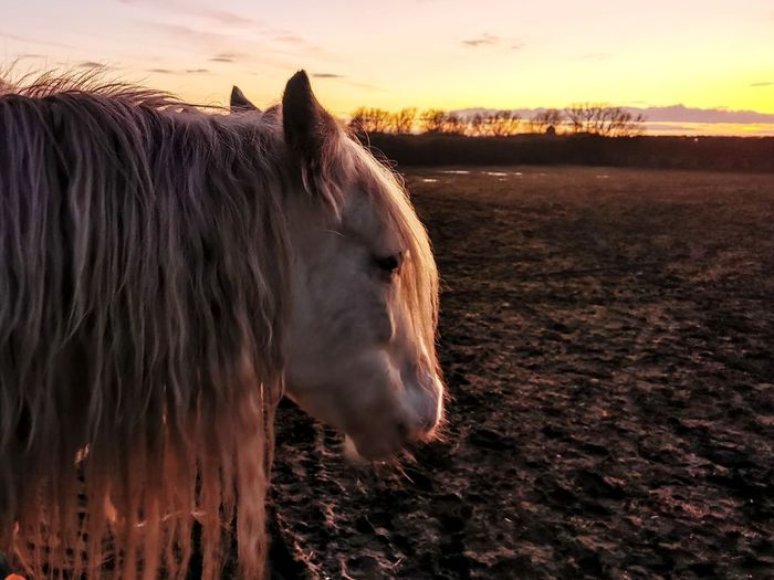 Horse standing in ranch against sky during sunset