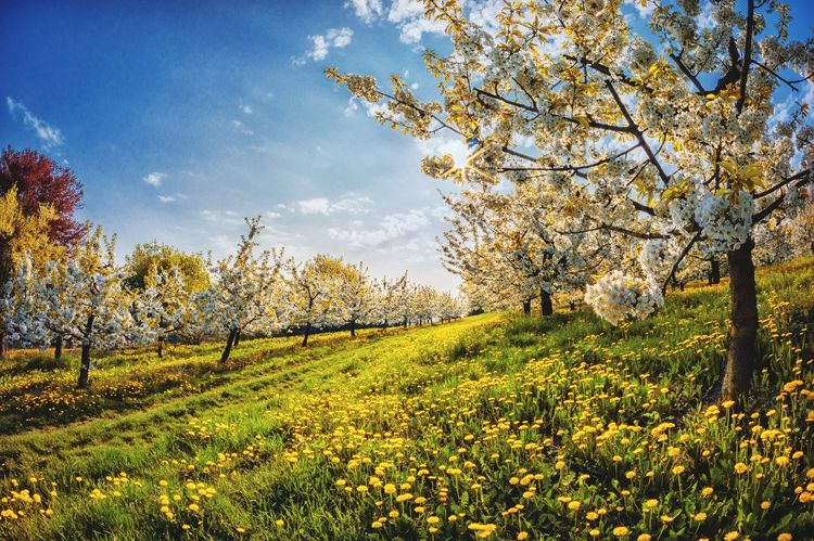 Blossom Plant Tree Growth Beauty In Nature Sky Field Tranquility Landscape No People Nature Scenics - Nature
