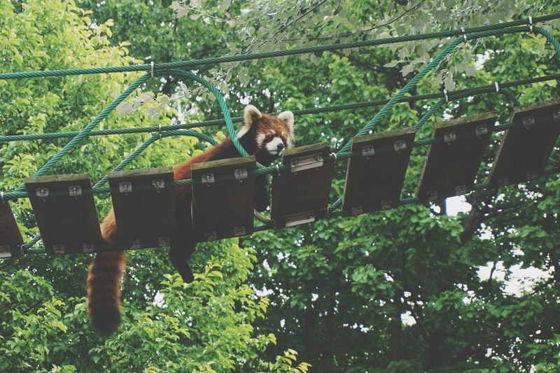 Red panda on bridge