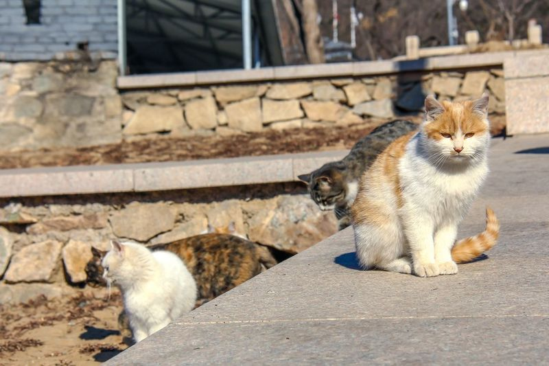 Chinese Cats
