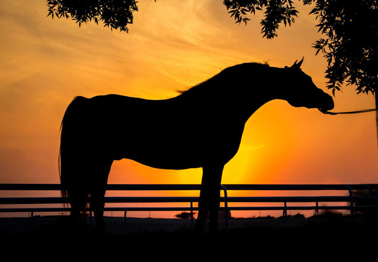 Beautiful Arabian Horse in sunset Arabian Beautiful Black Horse Farm Force Running Stallion Sunset_collection Animal Animal Wildlife Beauty In Nature Black Desrt Fast Horse Livestock Mammal Nature One Animal Orange Color Outdoors Seluet Sky Sunset Wide