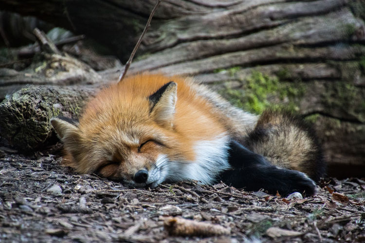 Sleeping fox Red Security Tree Wood Zoo Animal Photography Animal Themes Animal Wildlife Animals In The Wild Close-up Day Forest Fox Mammal Nature No People One Animal Outdoors Red Hide Relaxation Sleeping Tired Wildlife
