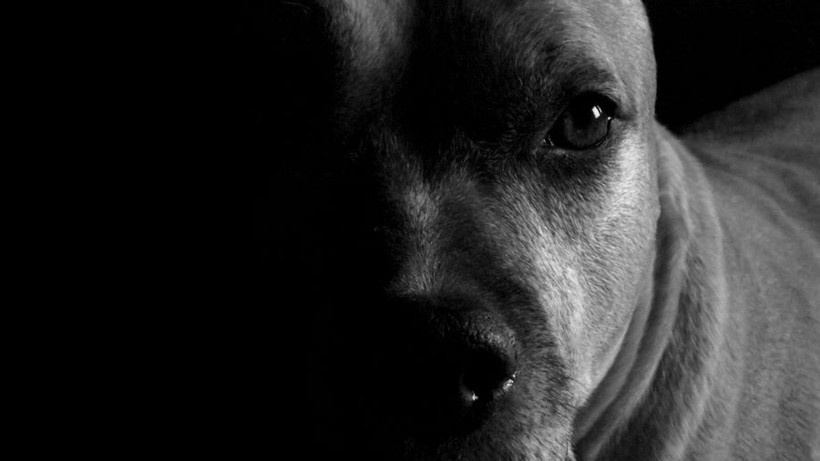 Best Dog Black & White Animal Animal Themes Beauty In Nature Black Background Close-up Dog Domestic Animals Indoors  No People One Animal Pets Pretty EyeEmNewHere Black And White Friday