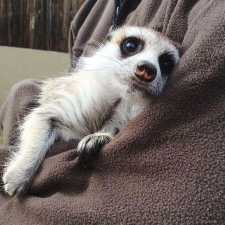 Meerkat Cuddles Animal Hugs Sweet Face Big Eyes African Wildlife Small Thing Adorable