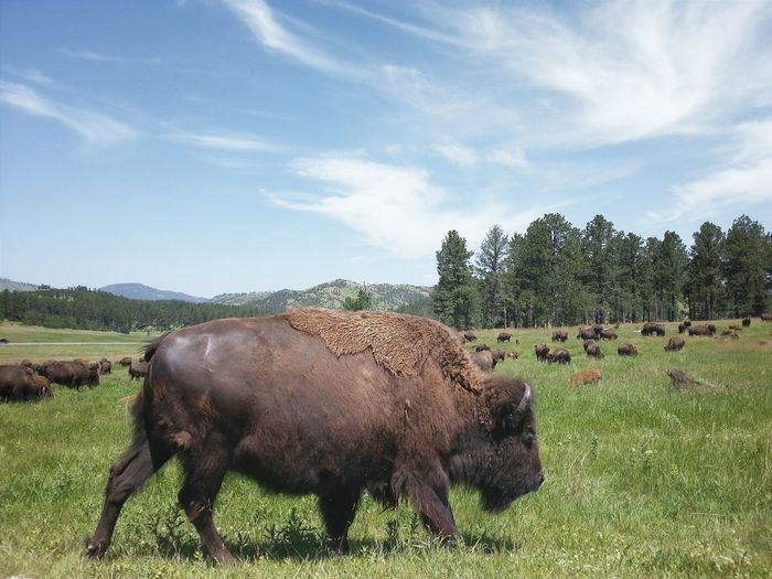 Where the buffalo roam. Custer State Park, South Dakota. Here is a short video of the buffalo I saw. bitly.com/buffalo-grazing RoadTripxUSA Custer South Dakota