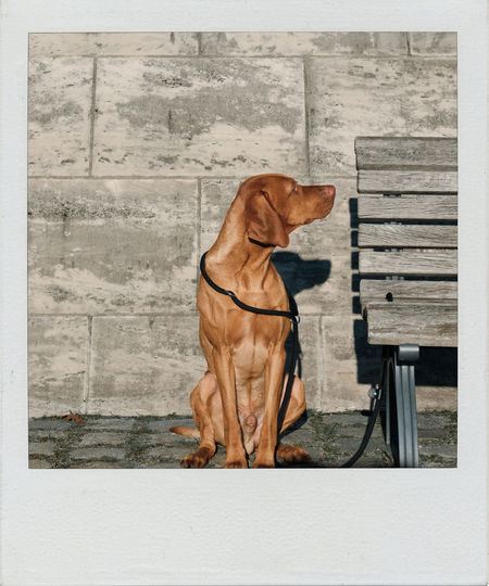 Cute hunting dog sitting next to a bench on a sunny day Bench Berlin Sunny The Week on EyeEm Bench Berlin Sunny Vizsla Waiting Animal Themes Close-up Day Dog Domestic Animals Full Length Hunting Dog Mammal No People On The Leash One Animal Outdoors Pets Polaroid Sitting Sitting Dog