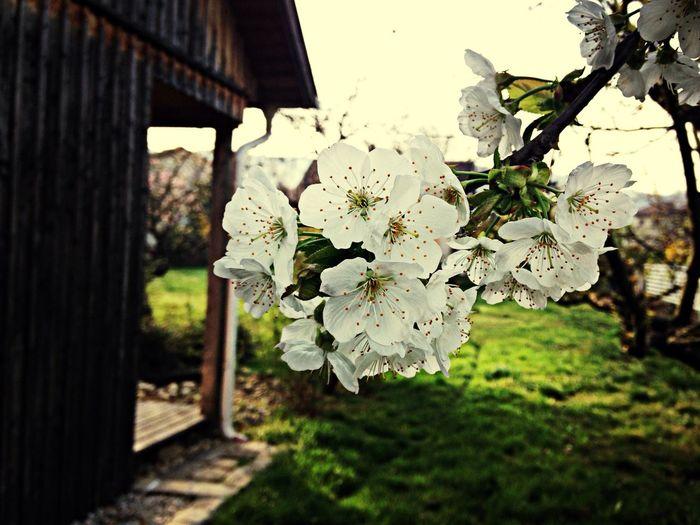 Spring Is Here Cherry Blossoms Garden Austria