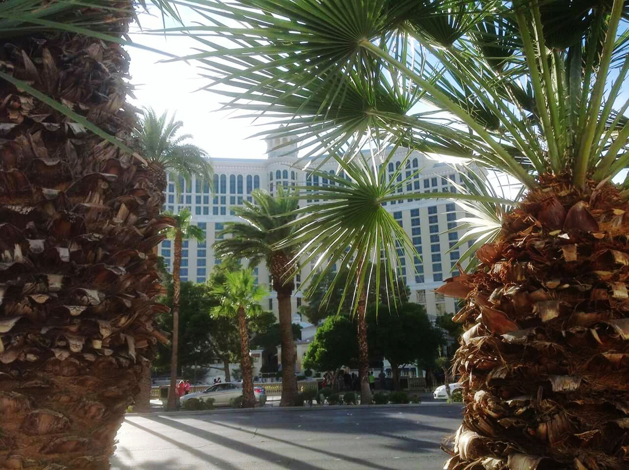 palm tree, tree, architecture, built structure, building exterior, growth, low angle view, tree trunk, leaf, tall - high, day, city, sky, clear sky, street, coconut palm tree, outdoors, branch, green color, sunlight
