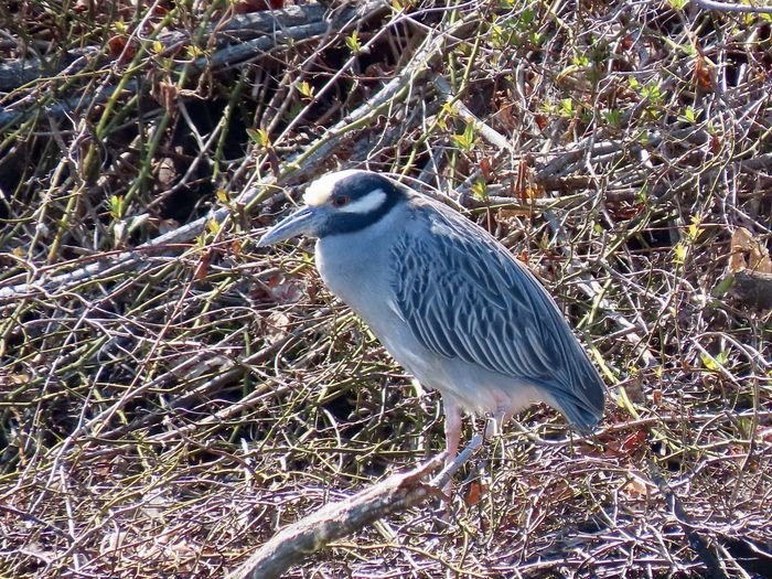 One yellow crowned night heron perched atop a wooden branch side view close up birdwatching birds of EyeEm beauty in nature outdoors Animal Wildlife One Animal Animal Themes Bird No People