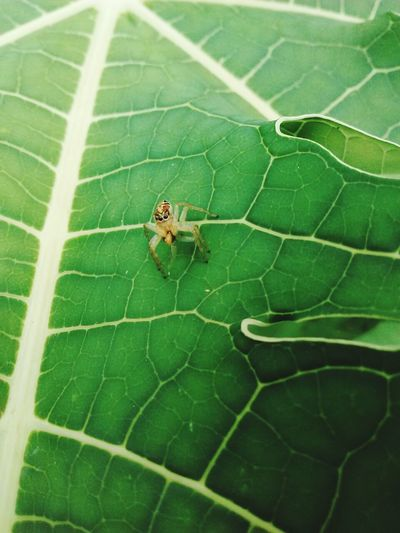 Look me. Spider Nature_collection Eyenaturelover Spider Eyes Spider Macro Spider Plant Animals In The Wild Leaf Animal Themes Green Color No People Nature One Animal Insect Outdoors Spider Day Close-up Animal Wildlife